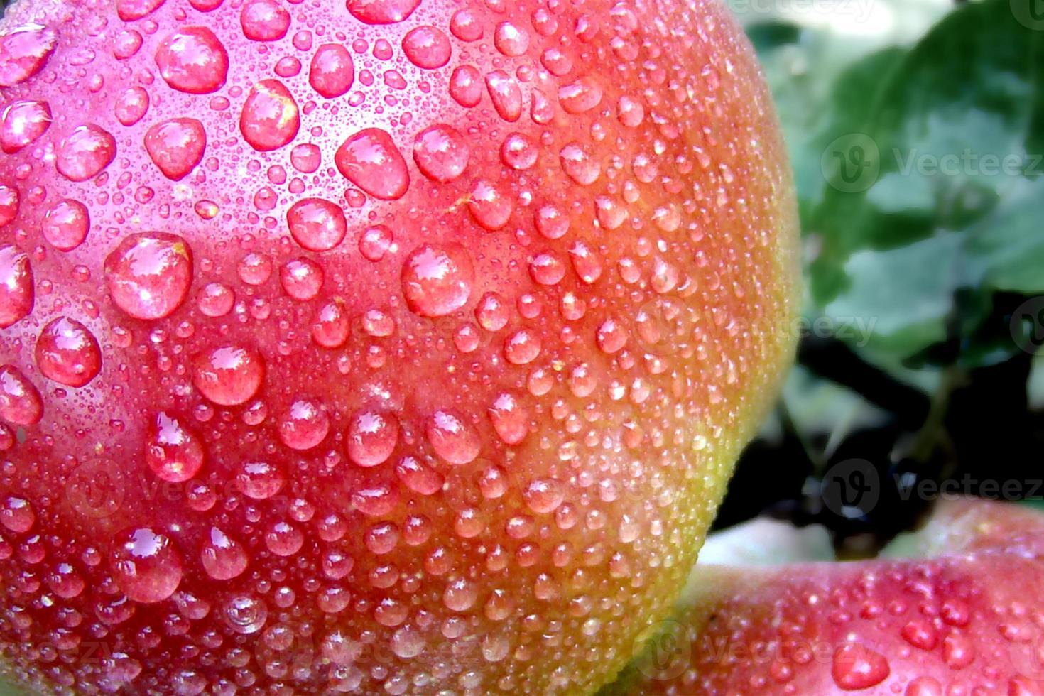 Rain drops on the fruit of the Apple tree. photo