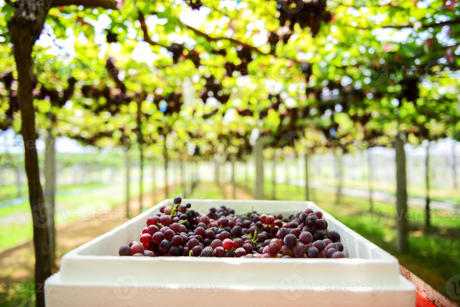 granja de uvas tak, tailandia foto