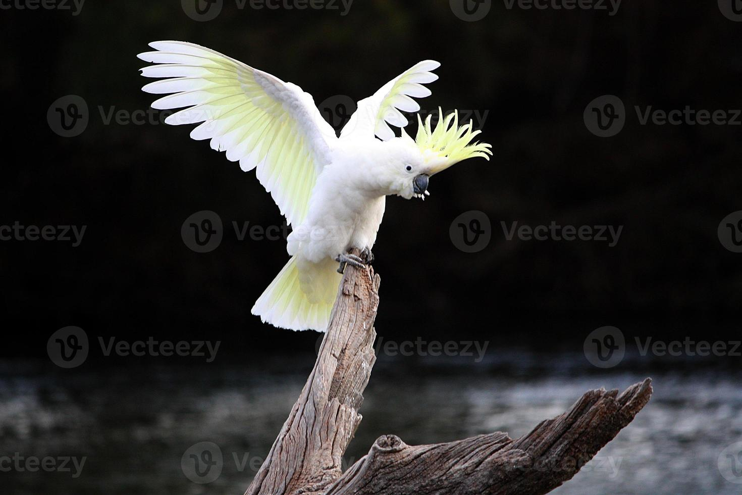 Australian Sulphur-Crested Cockatoo on log with wings spread behind it photo
