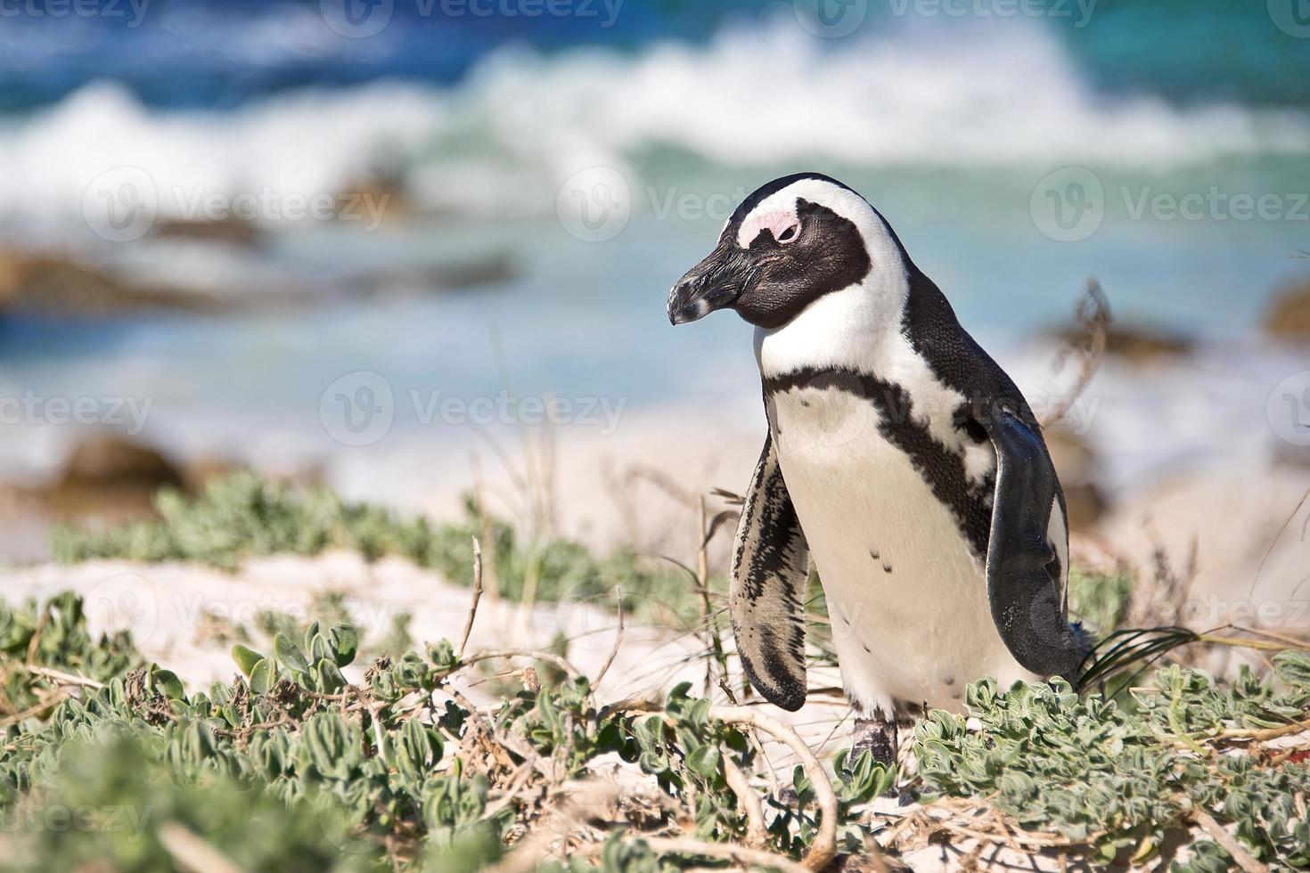 pingüino africano, parque nacional de cantos rodados, sudáfrica foto