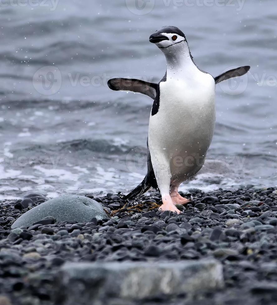 Dancing Chinstrap Penguin photo