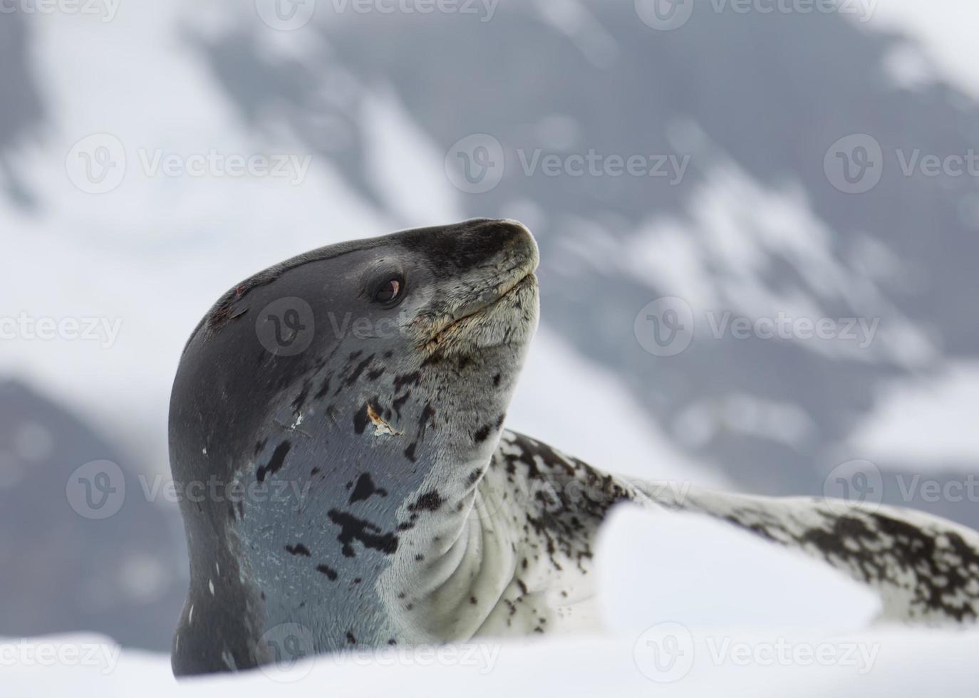 Leopard Seal on ice floe photo