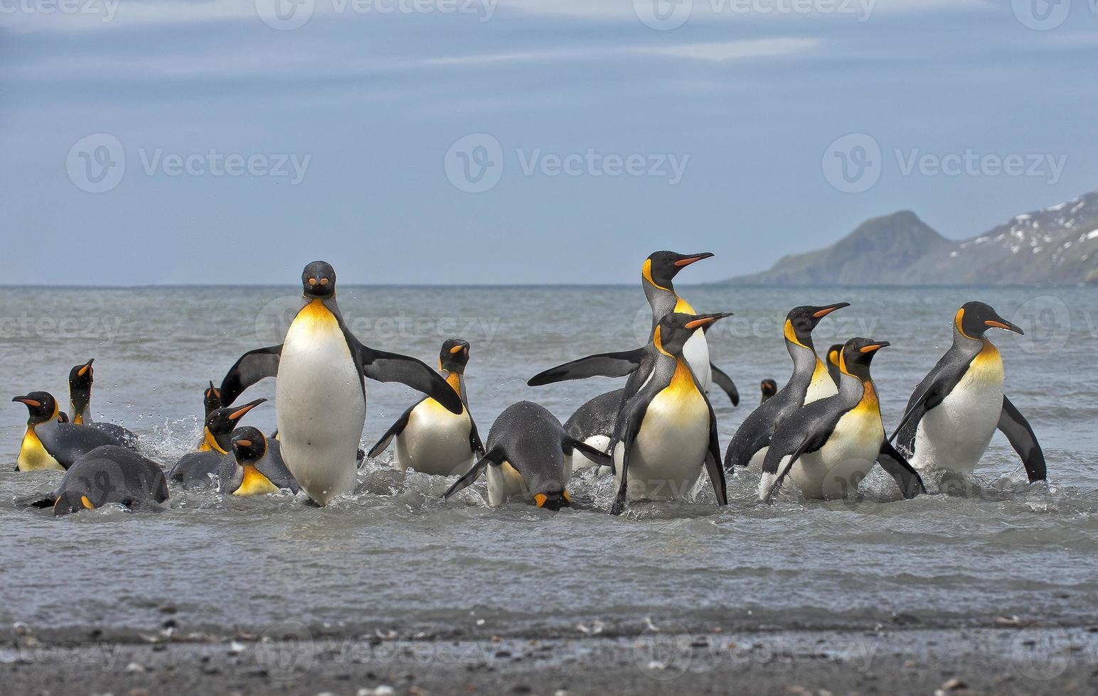 pingüinos rey llegando a tierra foto