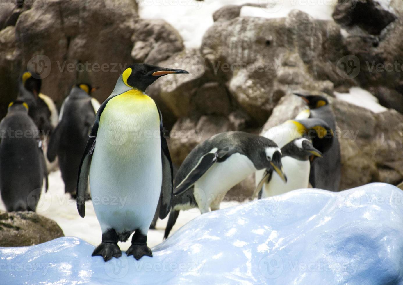 pingüino adulto foto
