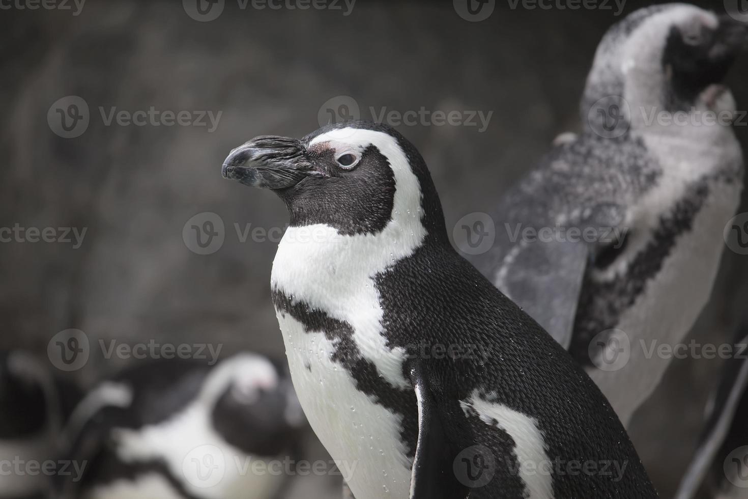 African Penguin Closeup Portrait photo