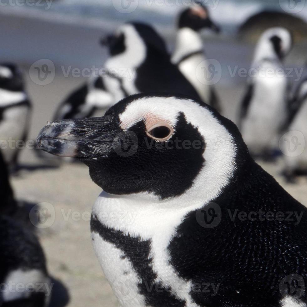 primer plano de pingüino jackass foto