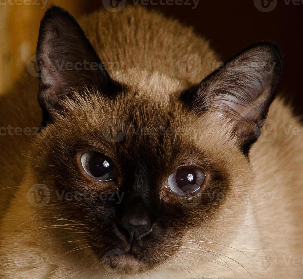 Siamese staring cat close-up photo