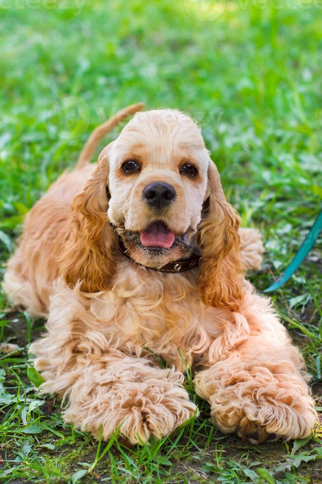 Retrato de primer plano de un lindo perro deportivo raza americana foto