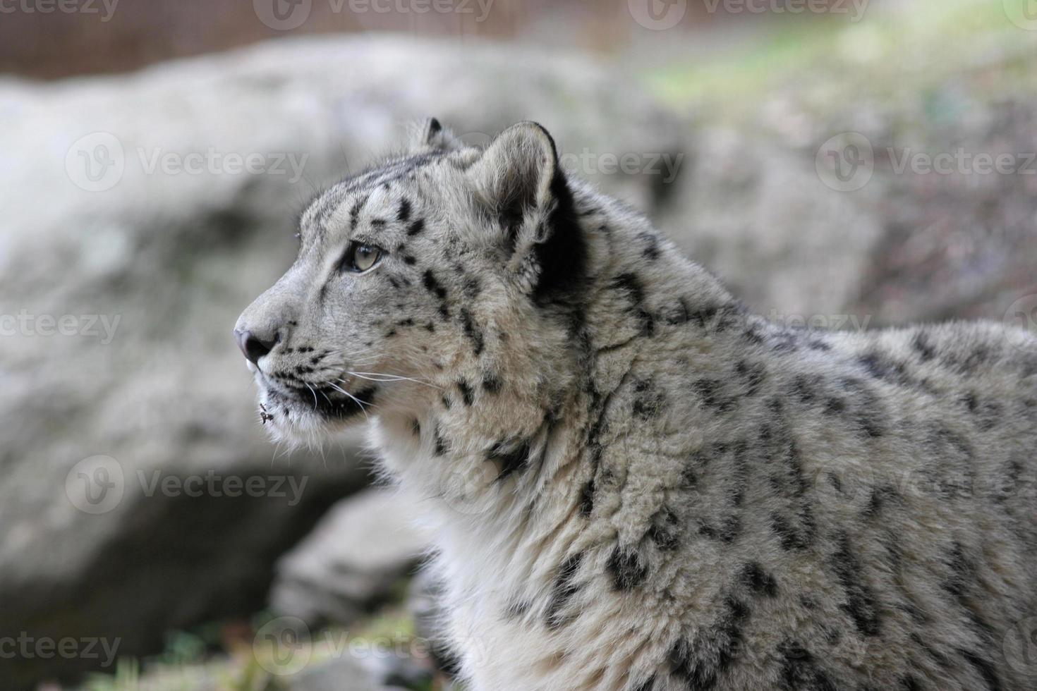 leopardo de nieve. foto