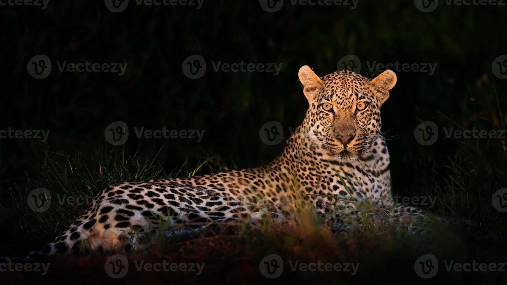 leopardo tumbado en la oscuridad foto