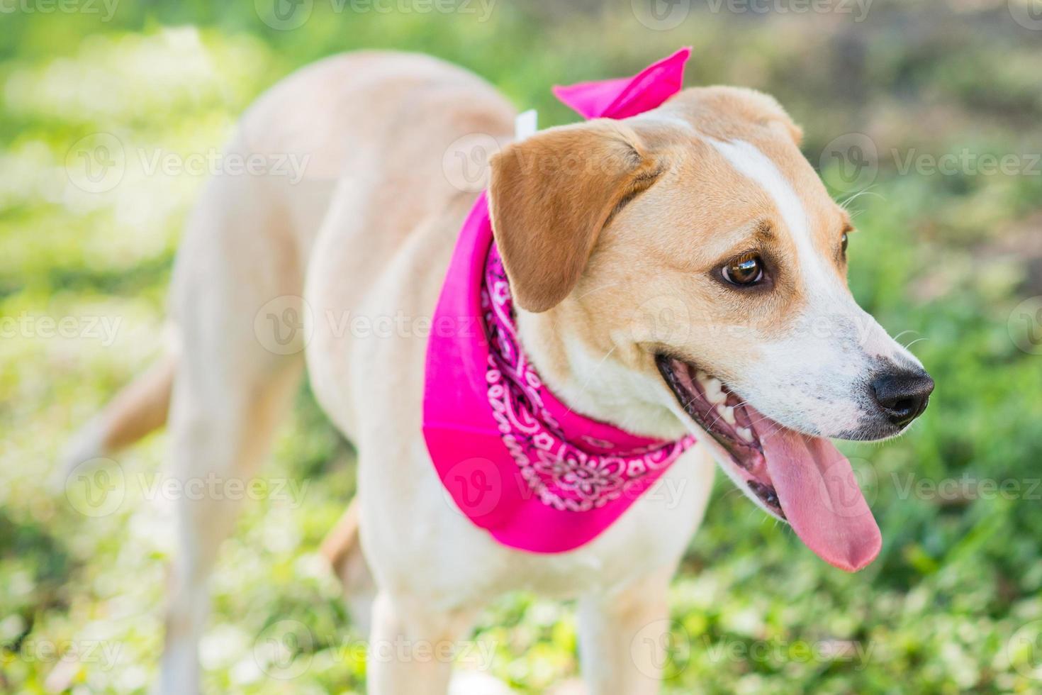bronceado y perro blanco de pie en la hierba foto