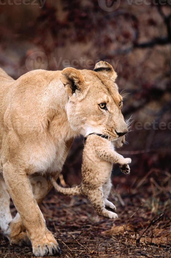 cachorro portador de leona foto