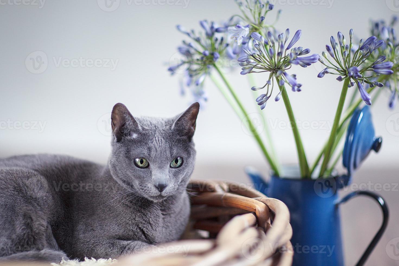 Russian Blue in Wicker Basket photo