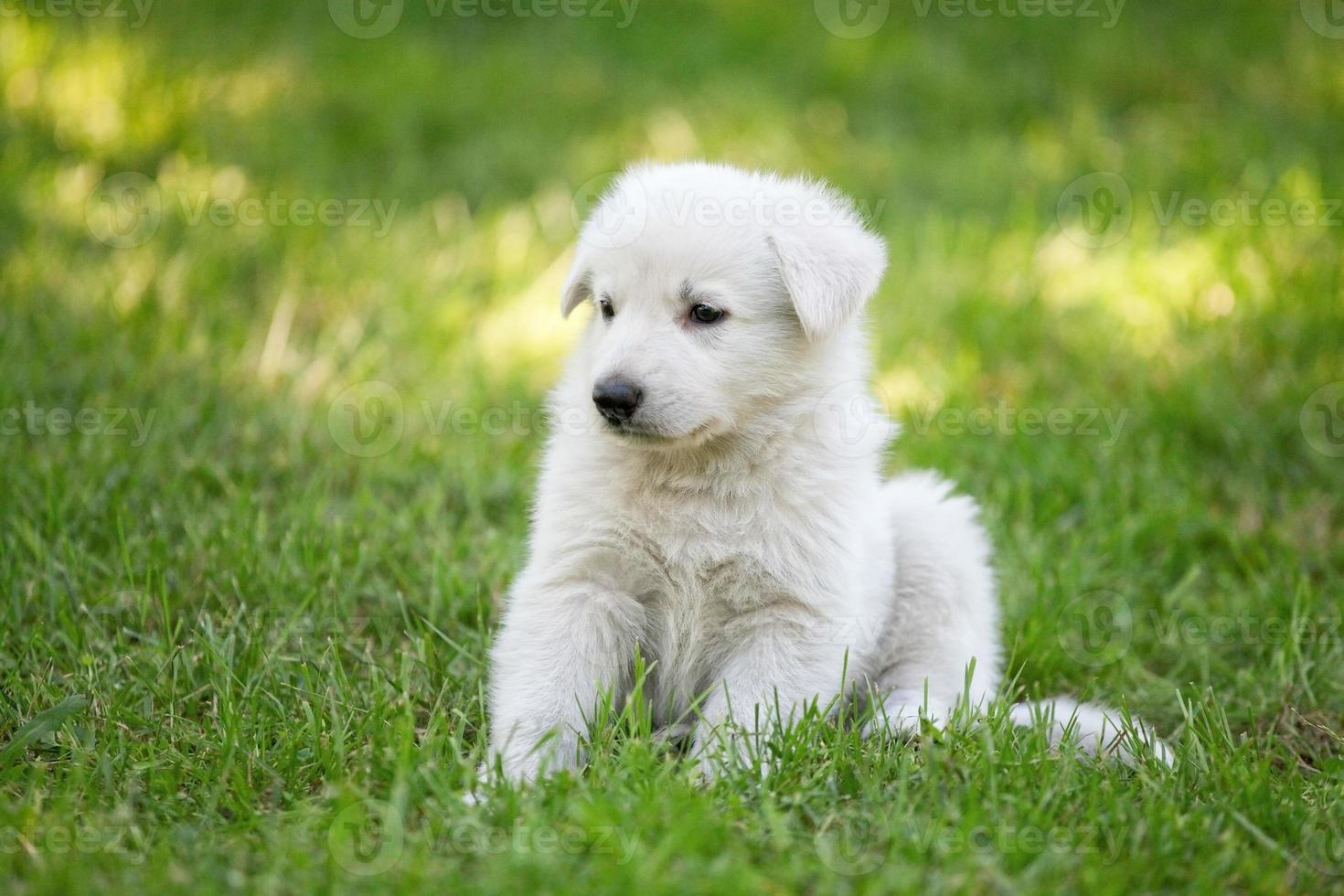cachorro de pastor suizo blanco foto