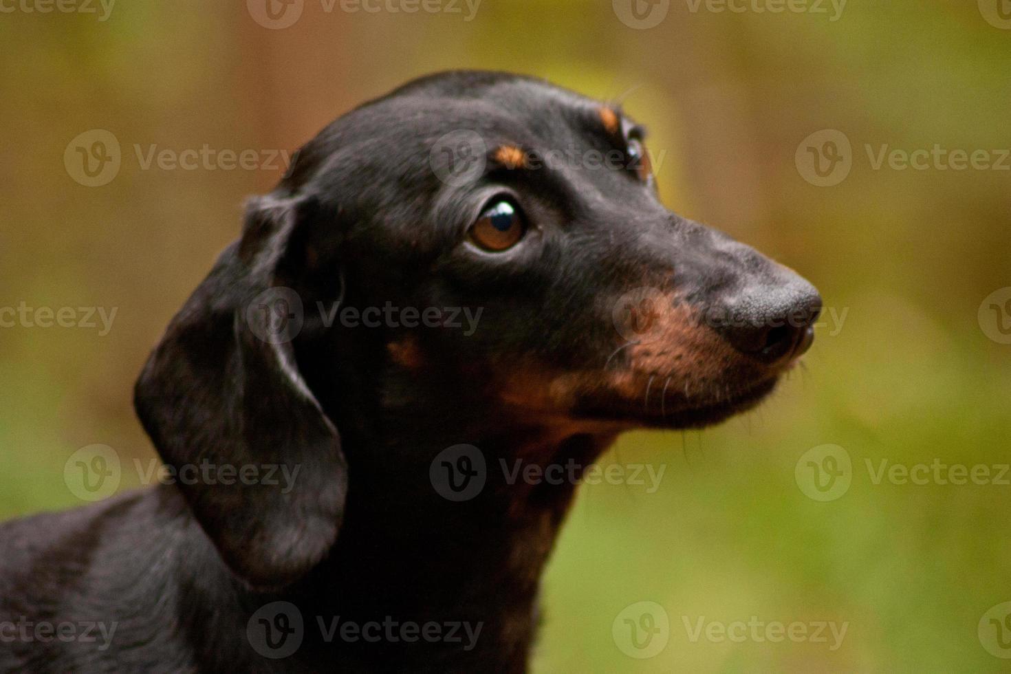 Miniature Dachshund photo