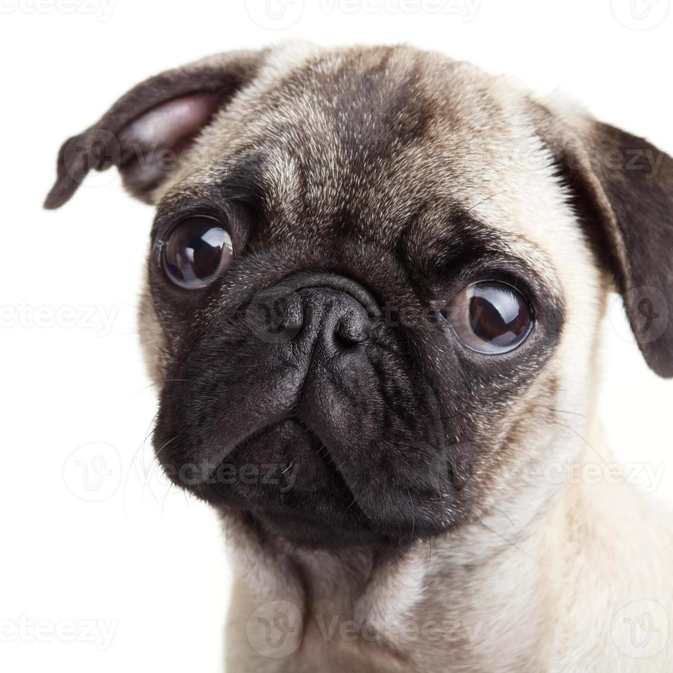 cachorro pug foto