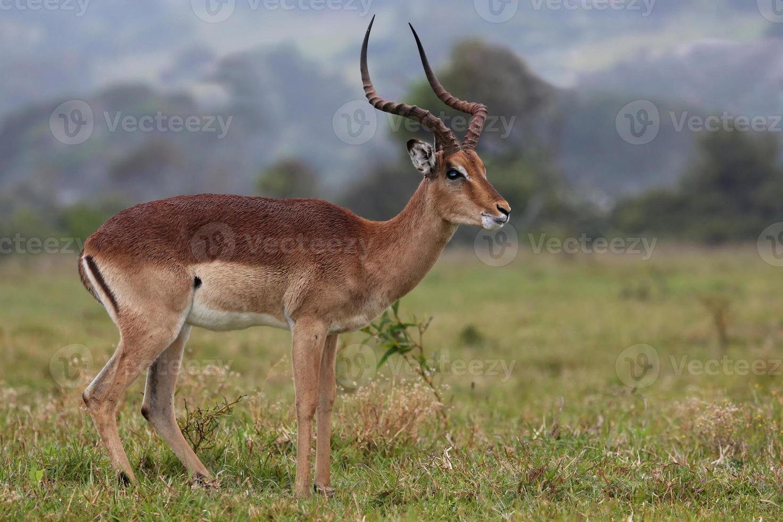 ram antílope impala foto