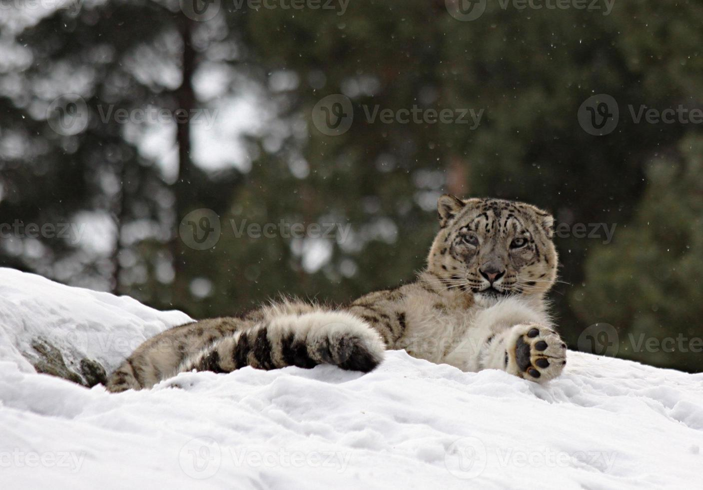Snow Lepard foto