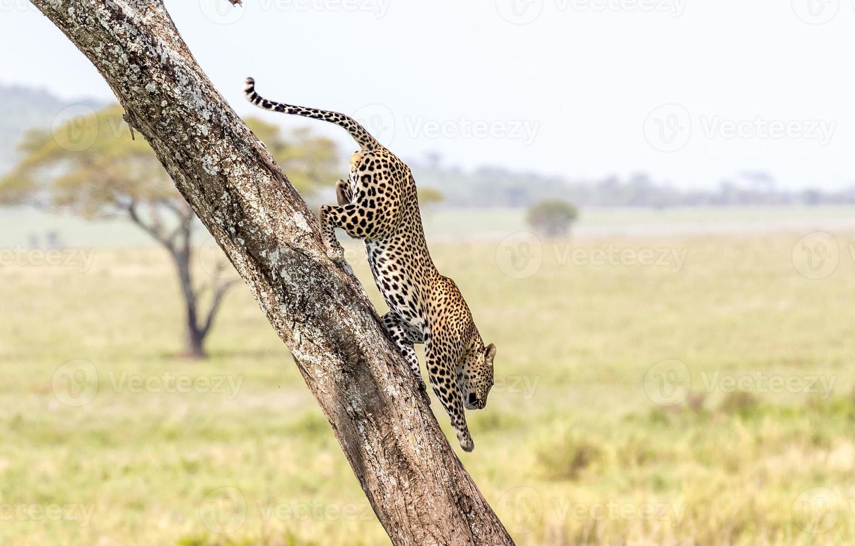 leopardo trepando por un árbol foto