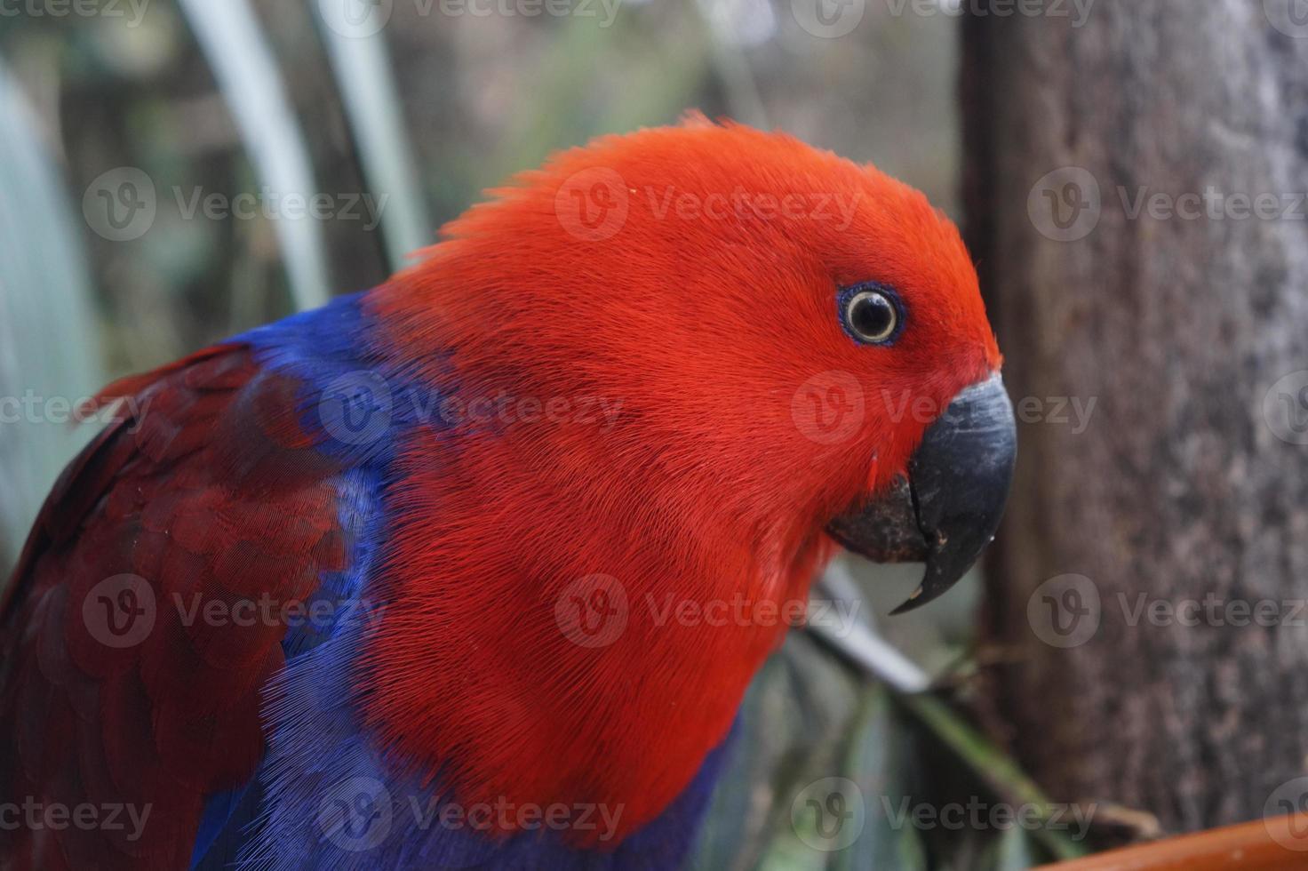 Vista lateral de loro eclectus rojo y azul foto