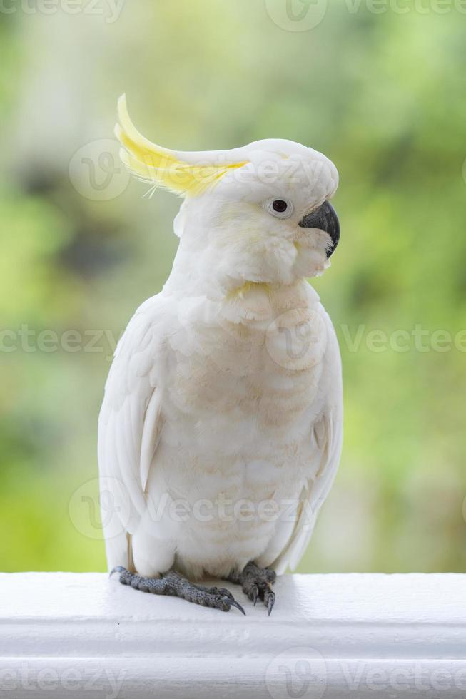 Yellow-crested cockatoo photo