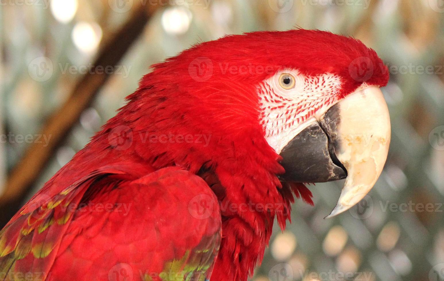 guacamayo rojo bonito foto