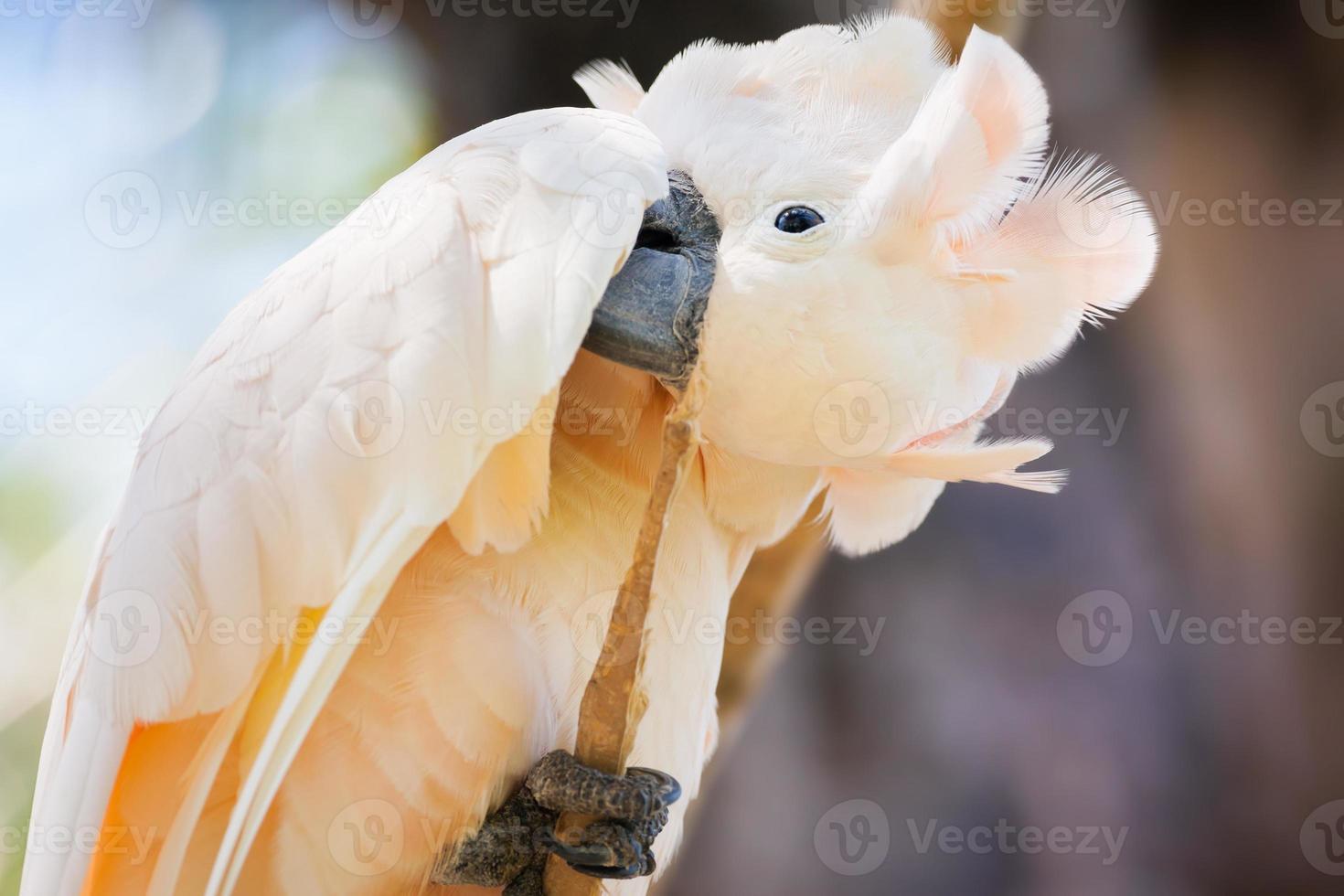 cacatúa de color blanco cremoso foto