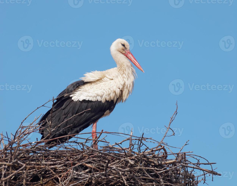 White Stork in the nest (Ciconia ciconia) photo