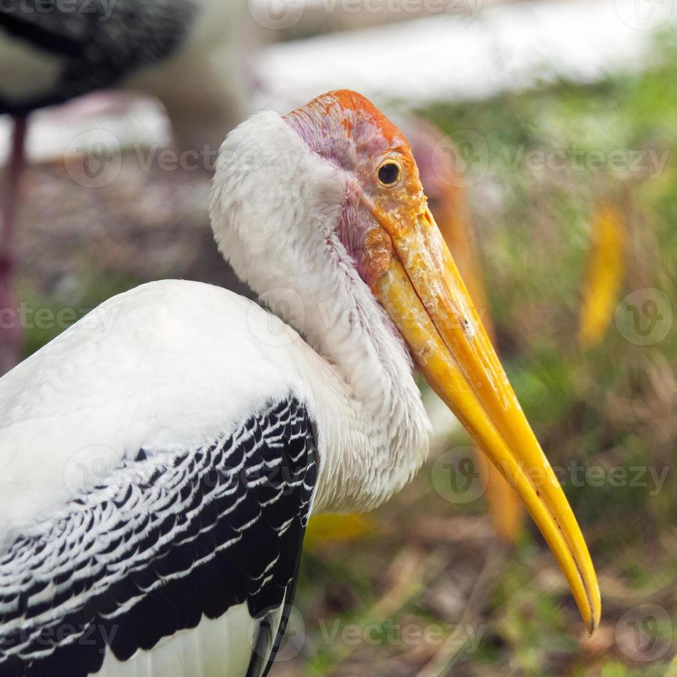 Yellow-billed stork photo