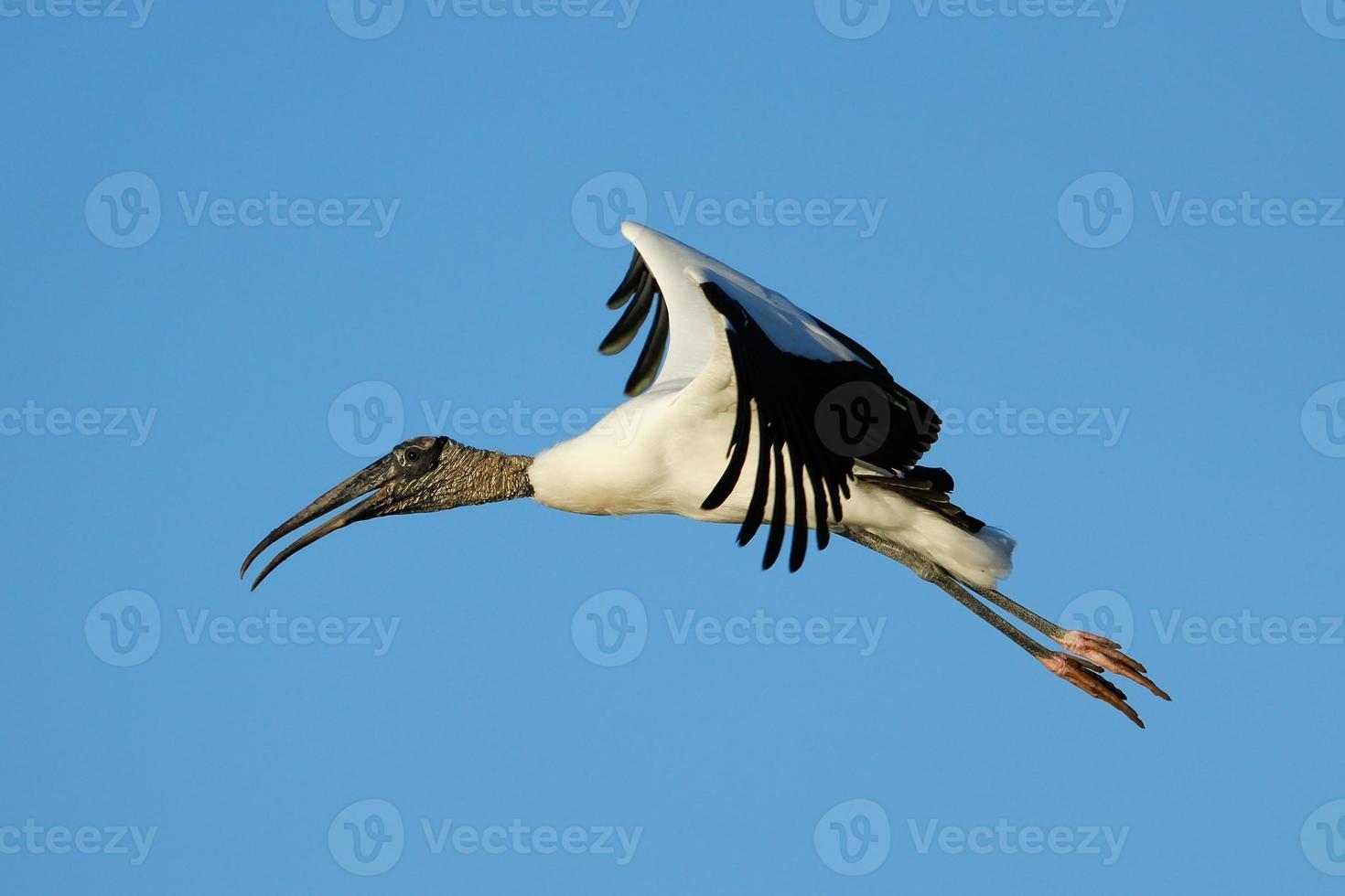Wood stork flying in blue sky photo