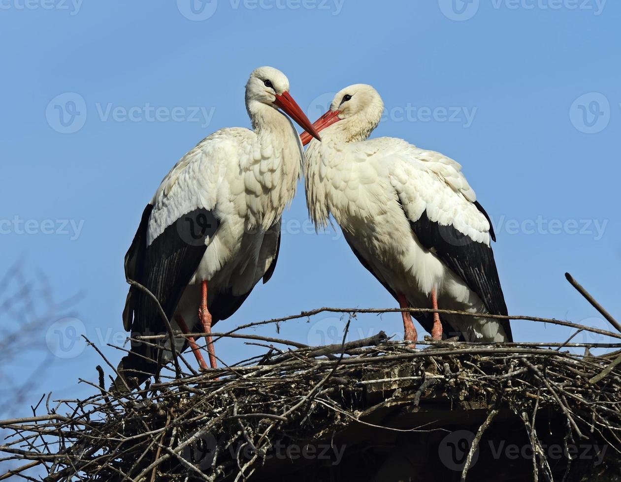 White Stork photo