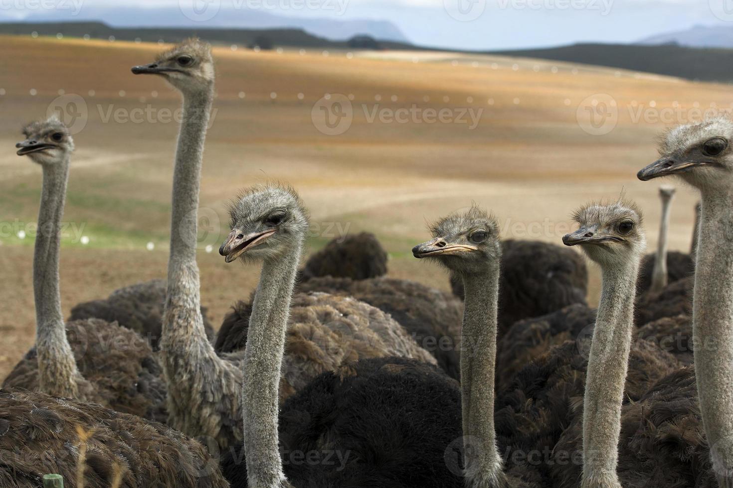 Ostriches on an ostrich farm photo