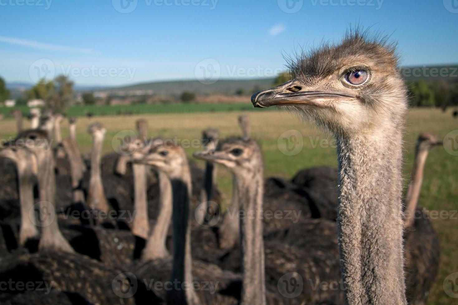 cabeza de avestruz foto
