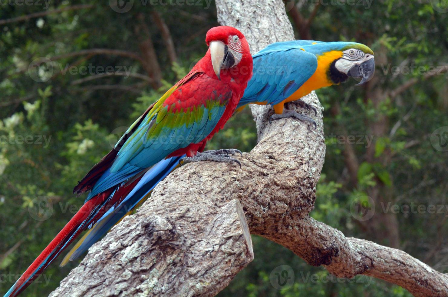 Pair macaw sitting on branch photo