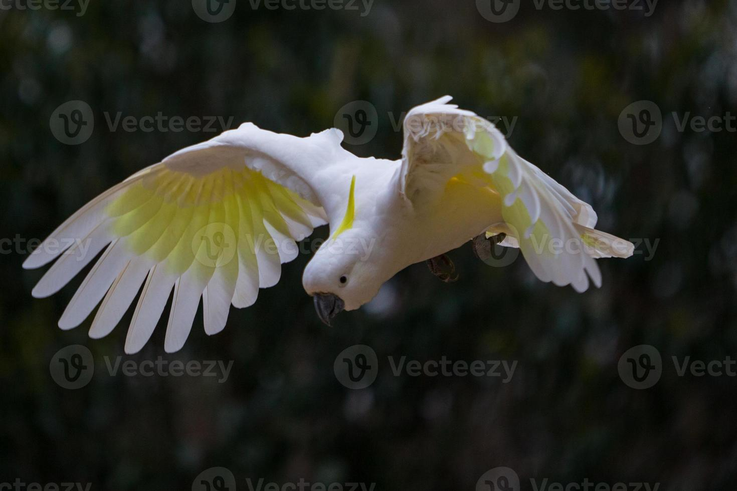 flying Sulphur Crested Cockatoo photo