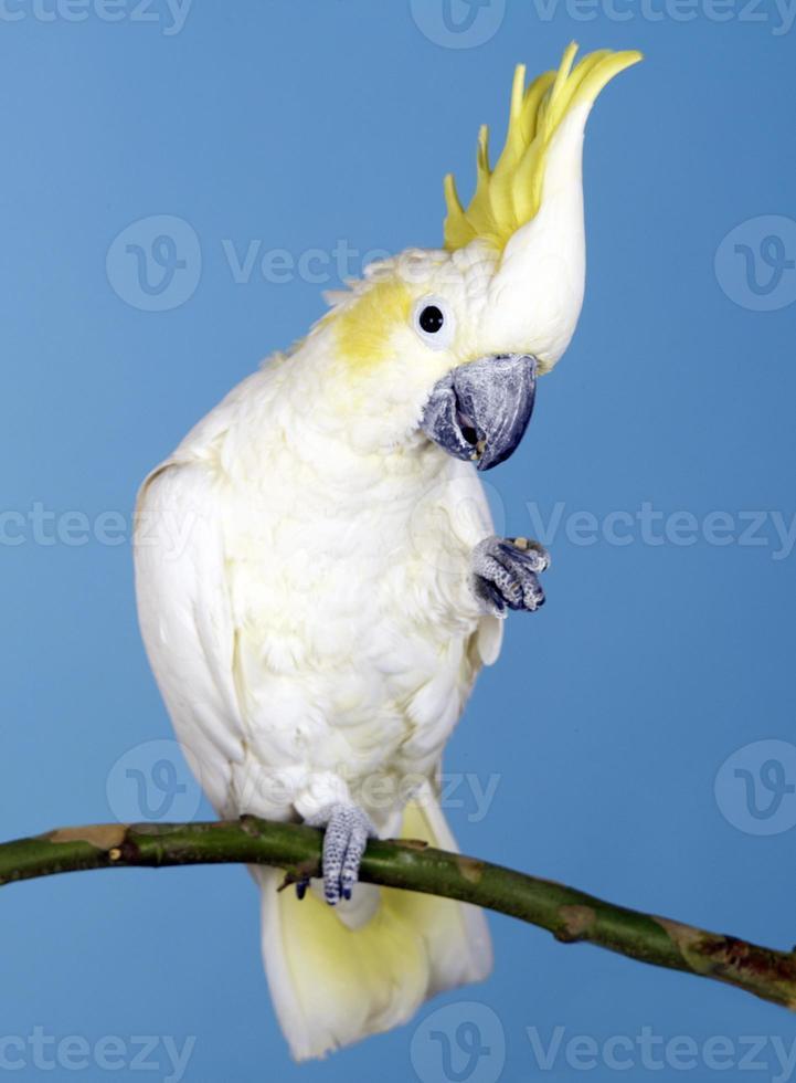 Close-up of Sulphur-crested Cockatoo photo