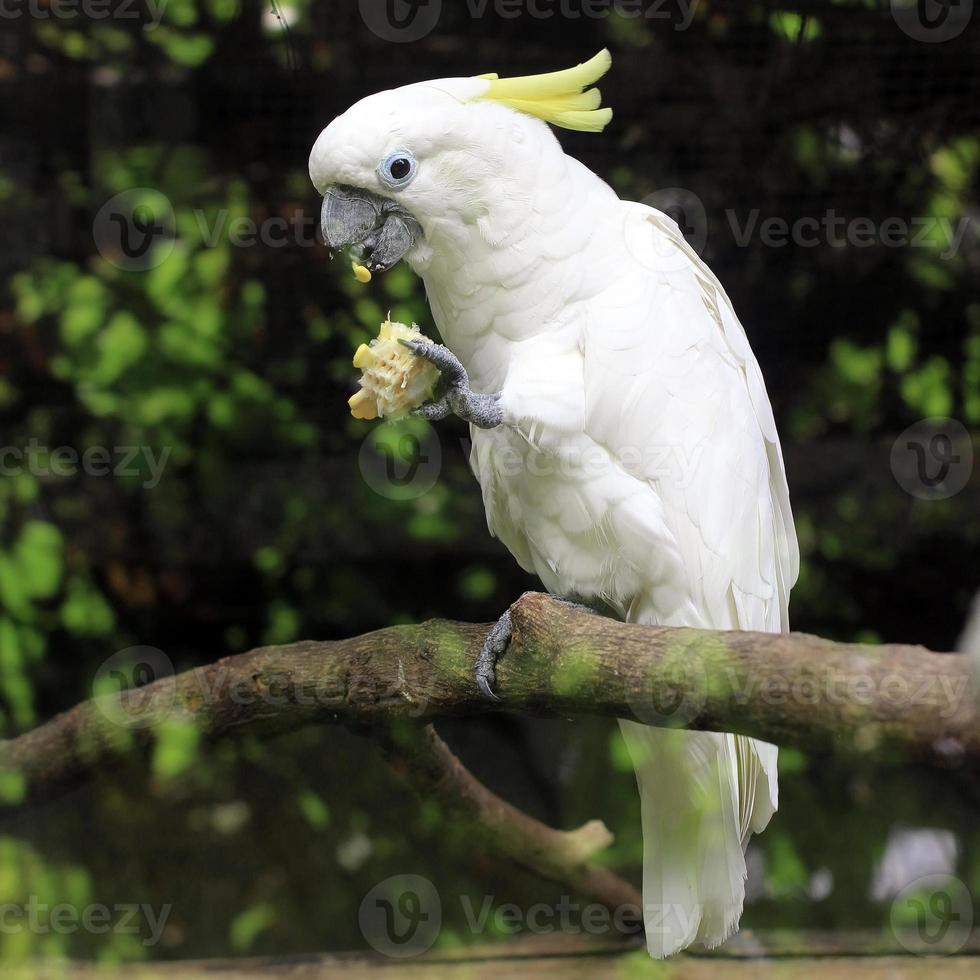 white sulphur crested cockatoo cacatua galerita photo