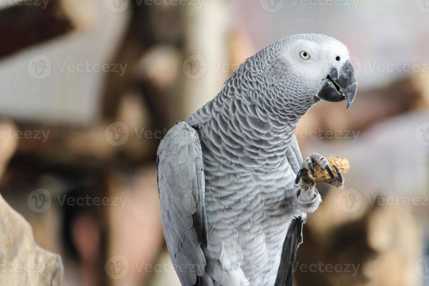 gris africano foto
