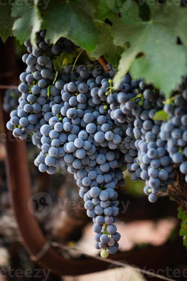 uvas de vino foto