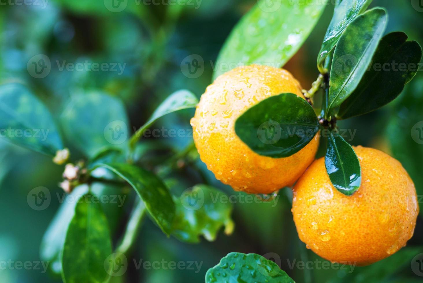 Small orange tree photo