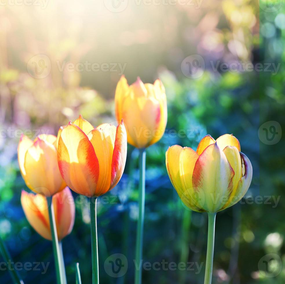 Soft focus tulips flower in bloom. photo