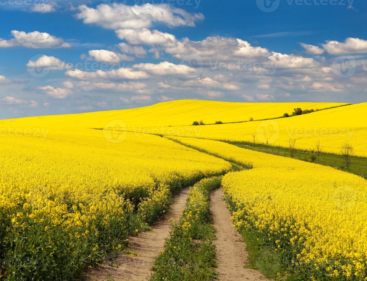 campo de colza con camino rural y hermosas nubes foto