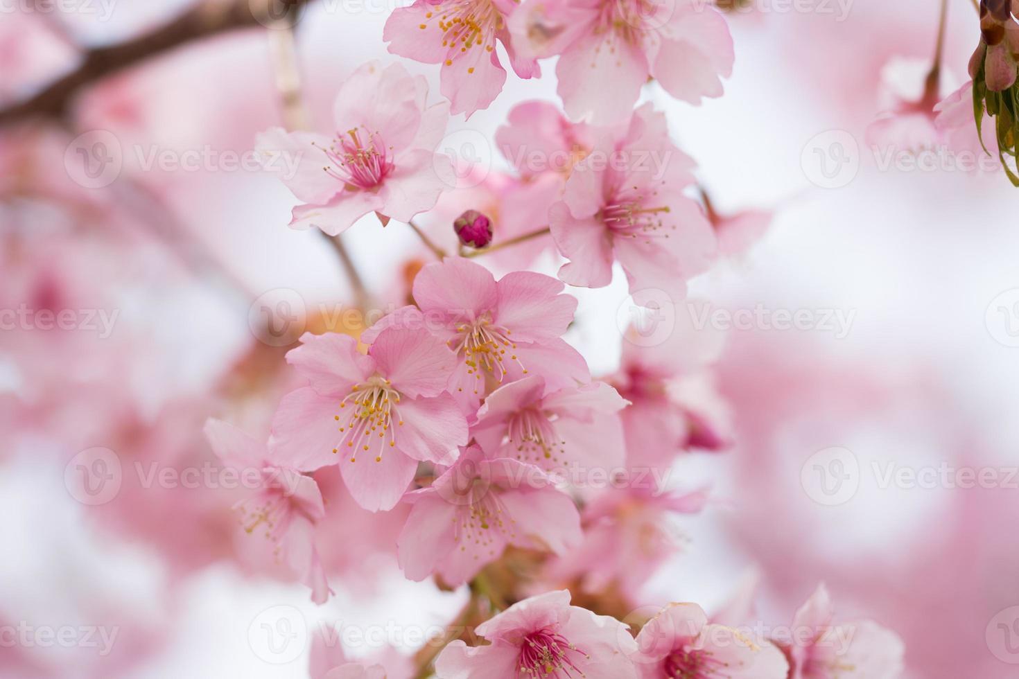 Cherry blossoms photo