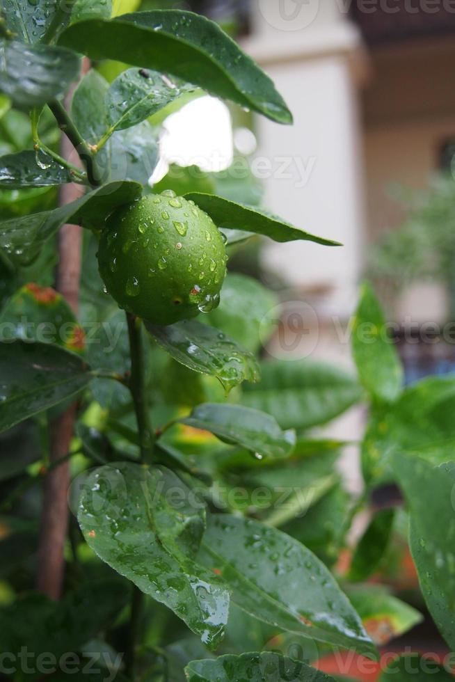 Fresh lime after rain photo