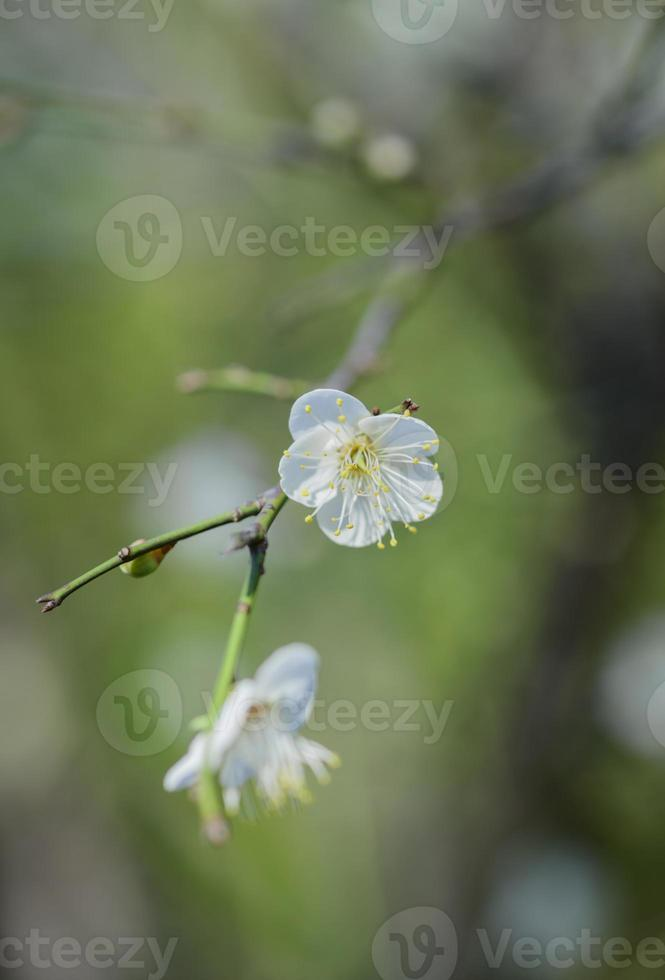 Plum  white flower photo