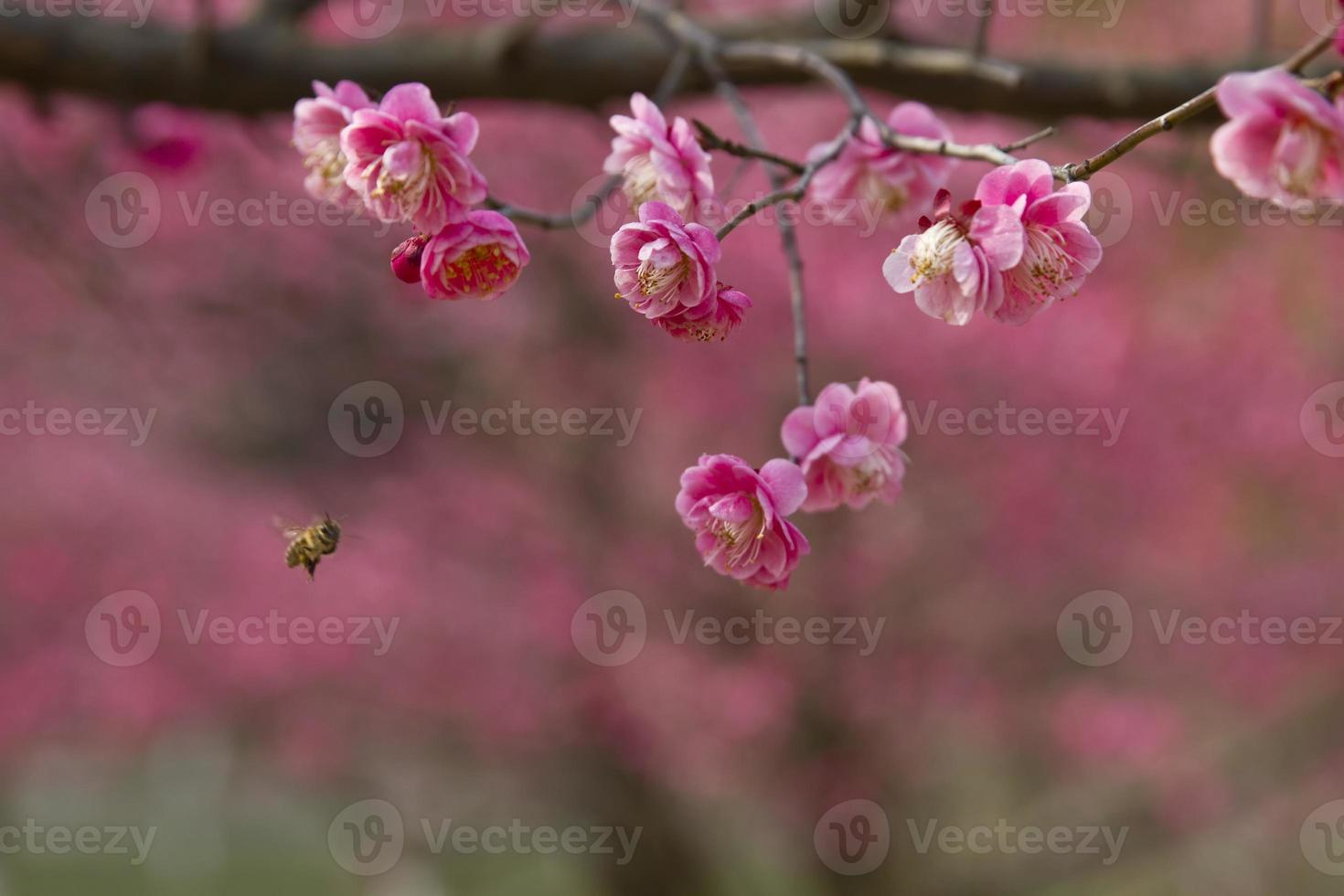 Bee Flying to  plum blossoms . photo