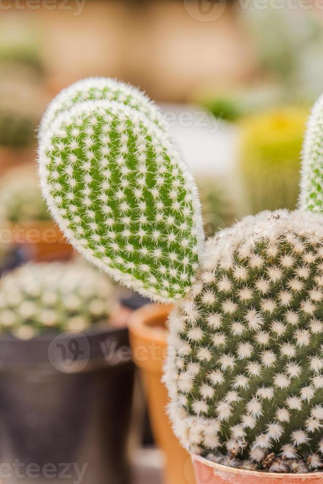 close up of Opuntia cactus photo