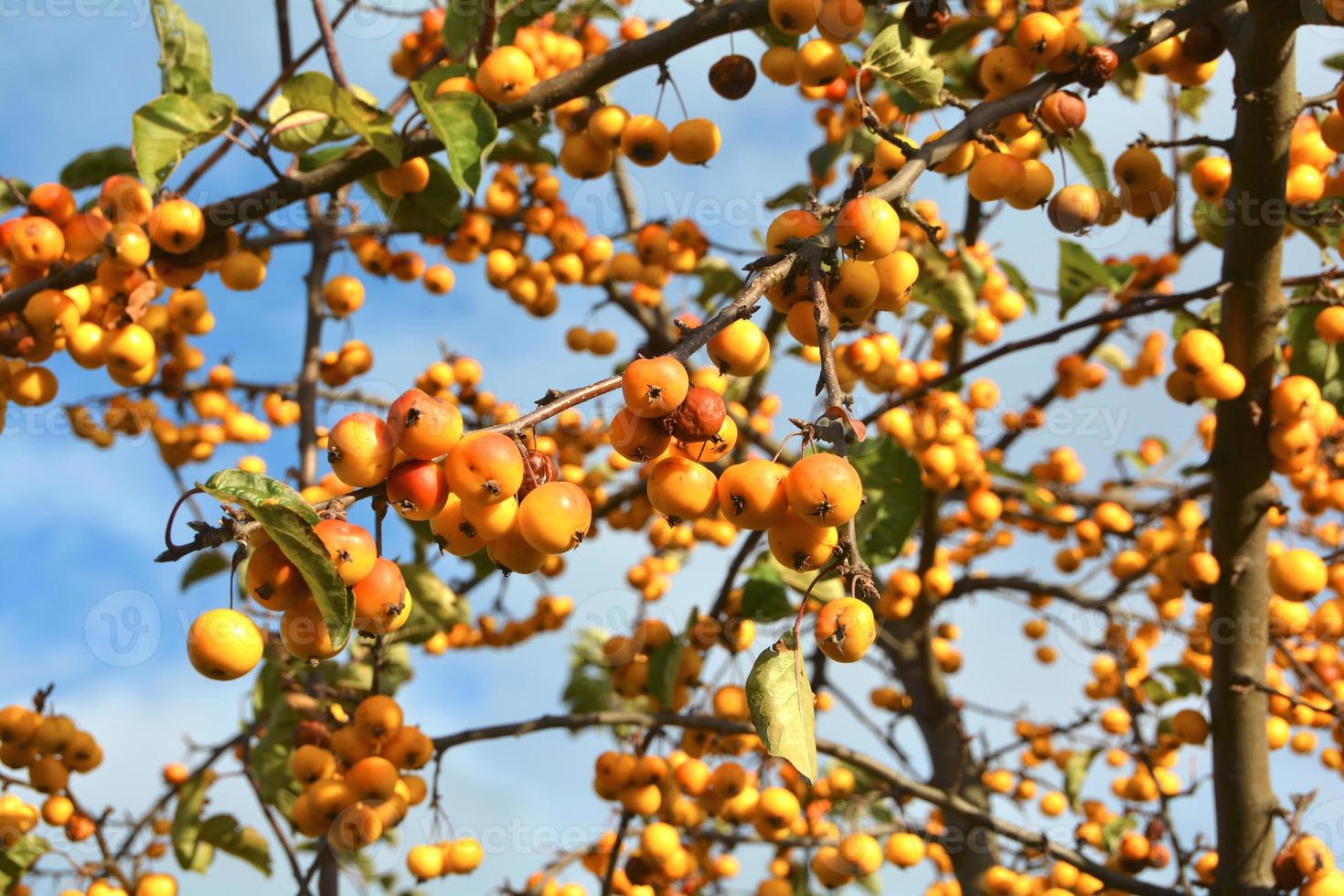 árbol de manzana foto
