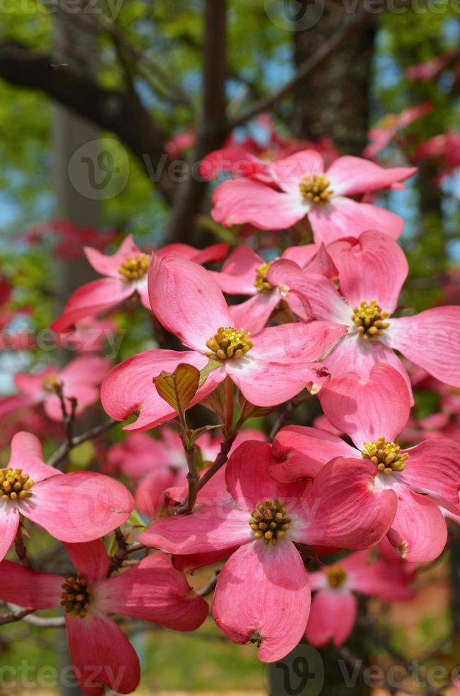 Dogwood Tree photo