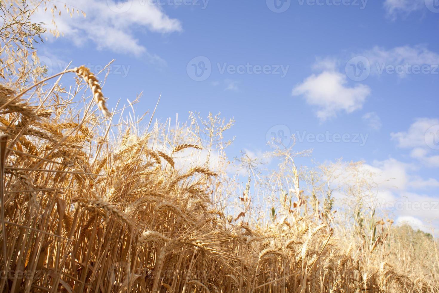 Ears of corn photo